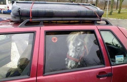 Konj u autu
