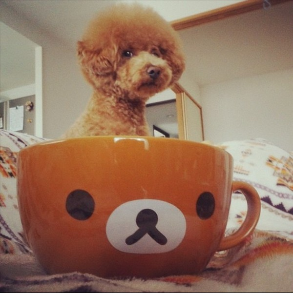 Dogs hiding in tea cups