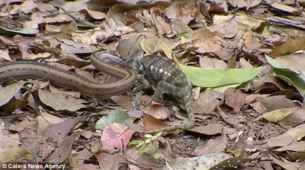 Snake swallows chameleon