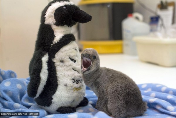 Baby penguin clings to a soft toy as his dad