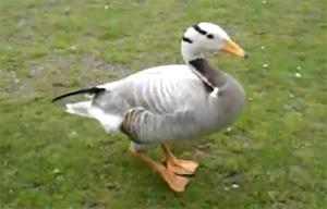 najsretnja patka
