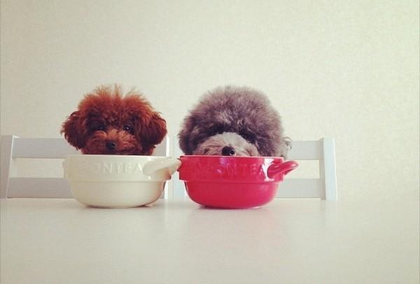 Dogs hiding in tea cups